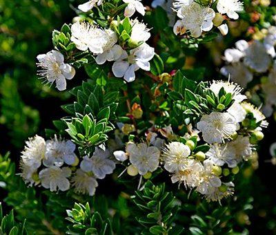 Myrtus_communis_subsp._tarentina