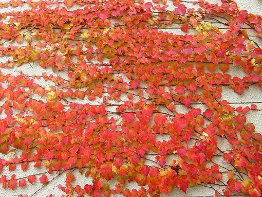 Parthenocissus_tricuspidata