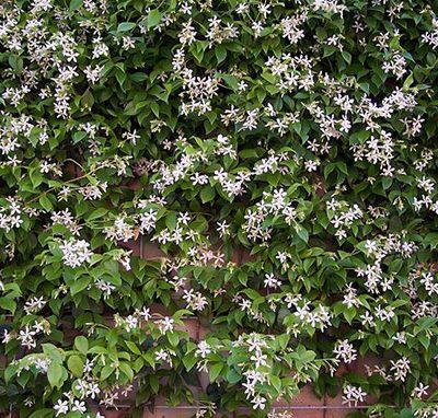 Trachelospermum_jasminoides