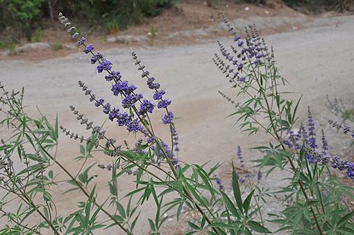 Vitex_agnus-castus_fleurs