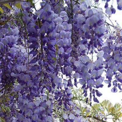 wisteria_sinensis