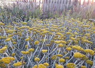 Helichrysum_argyrophyllum