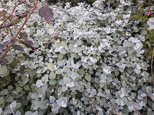 Helichrysum_petiolare