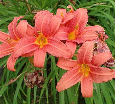 Hemerocallis_'Pink_Damask'