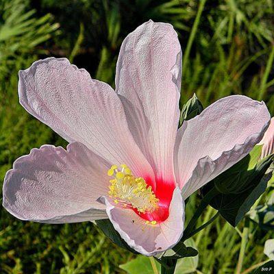 Hibiscus_grandiflorus