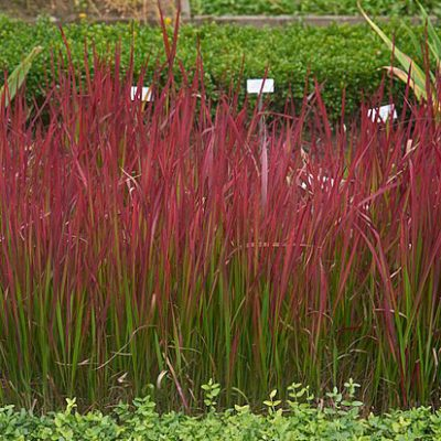 Imperata_cylindrica_'Red_Baron'