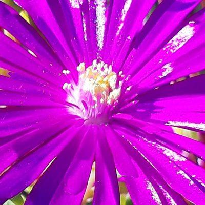 Lampranthus_zeihery_fleur
