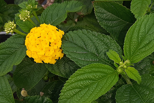Lantana_camara_jaune_fleurs