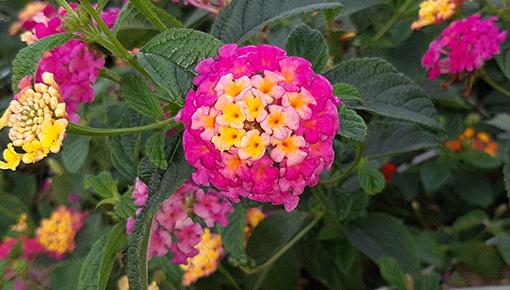 Lantana_camara_rose_vif_fleurs