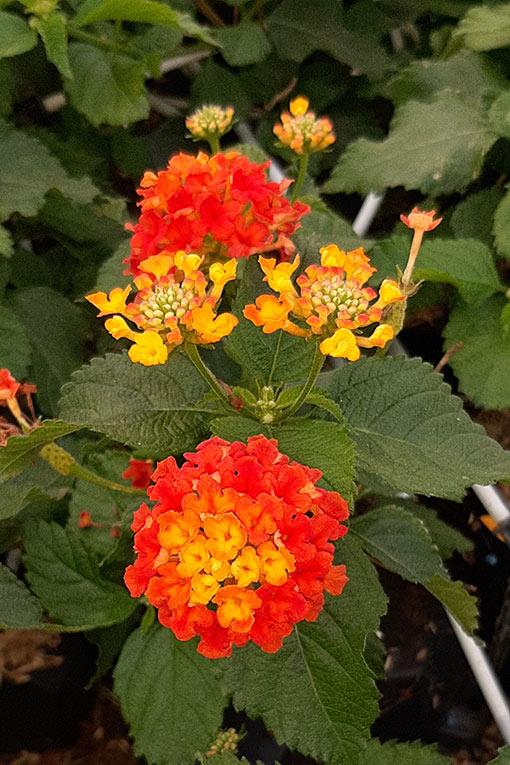 Lantana_radiation_arc_en_fleurs