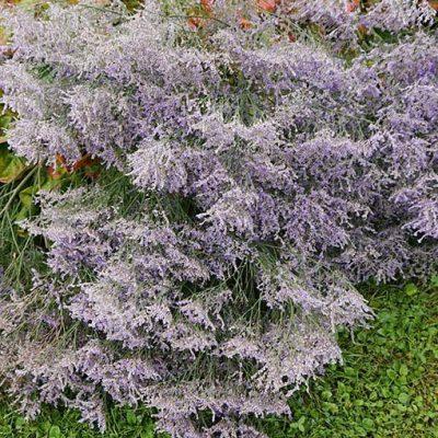 Limonium_latifolium