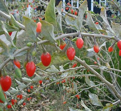 Lycium-barbarum-fruits