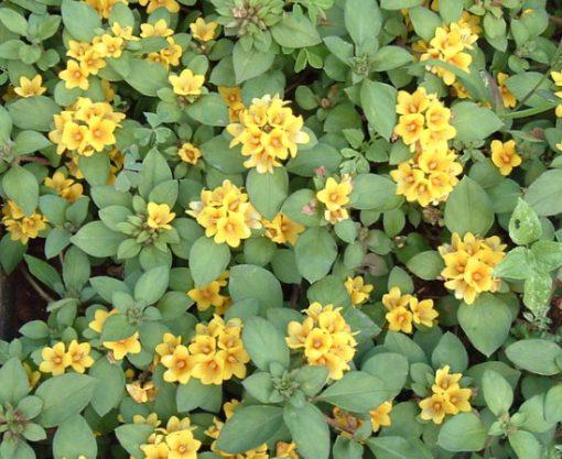 Lysimachia_congestiflora