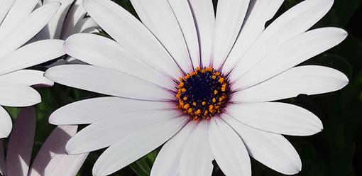 Osteospemum_alba_fleur