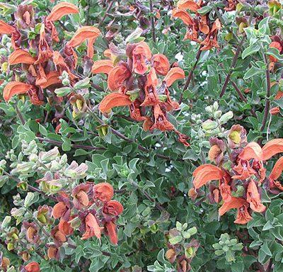 Salvia_africana-lutea