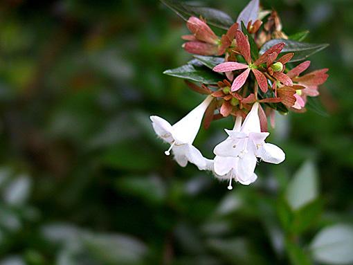Abelia_grandiflora_fleurs