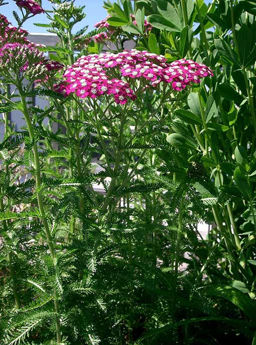 Achillea_millefolium_cerise_queen_fleur