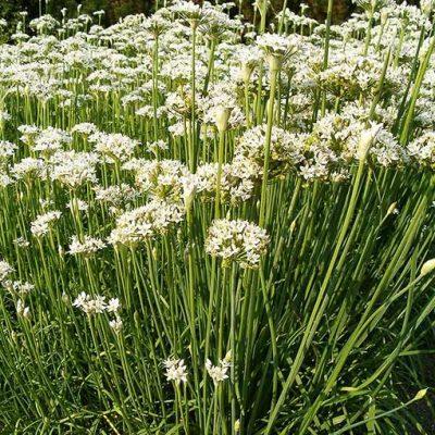 Allium_tuberosum