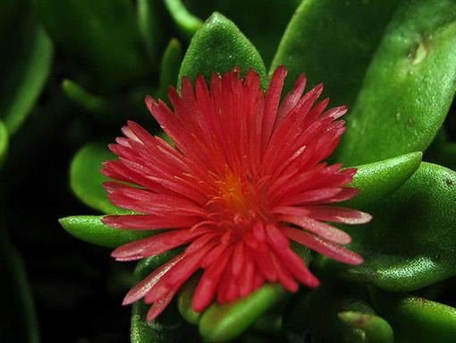 Aptenia_cordifolia_details