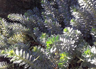 Euphorbia_myrsinites