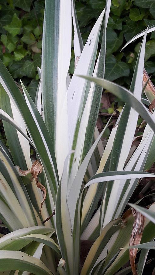 Iris_japonica_variegata