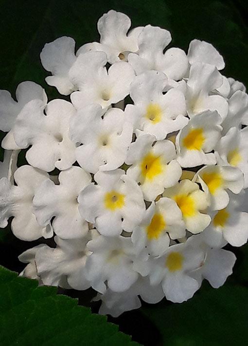 Lantana_camara_schneeflocke_fleur