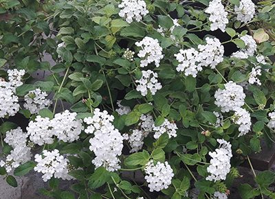 Lantana_sellowiana_alba