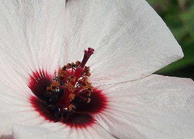 Pavonia_hastata_fleur