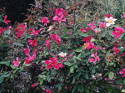 Rosa_sinensis_mutabilis_floraison