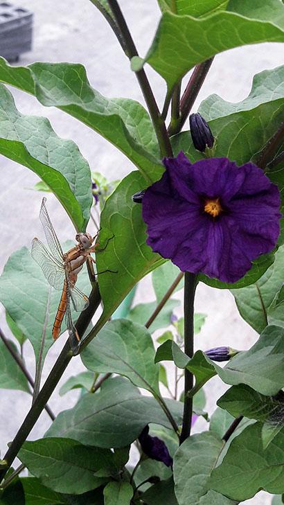 Solanum_rantonetti_royal_robe_fleur