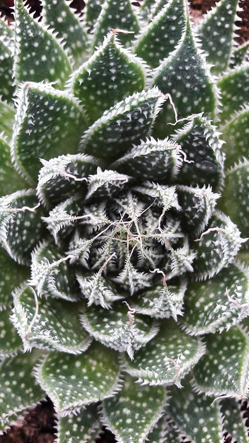 Aloe_aristata_pot