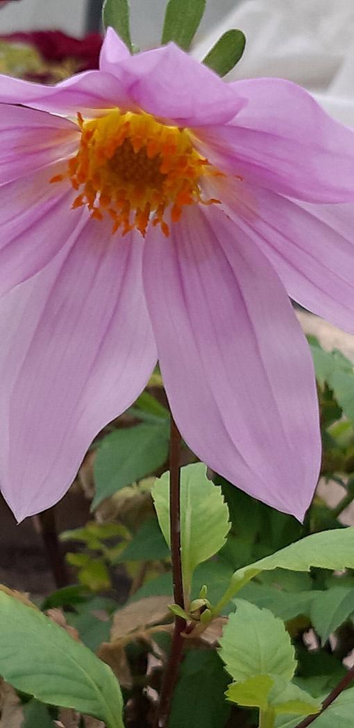 Dahlia_imprialis_rose_fleur