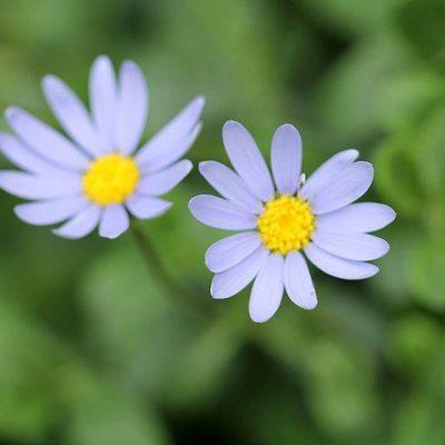Felicia_amelloides_Agathea_fleur