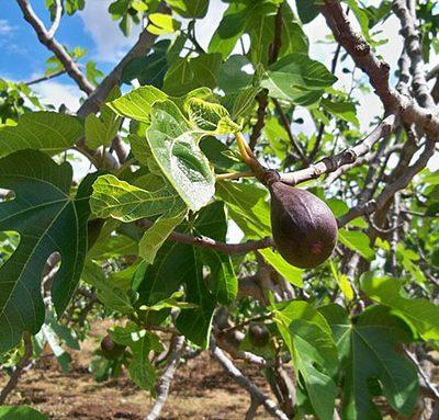 Ficus_carica_Noire_de_Caromb