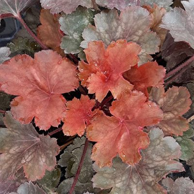 Heuchera_Cherry_Cola