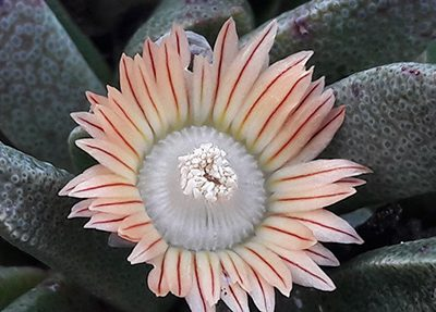 Nananthus_transvaalensis