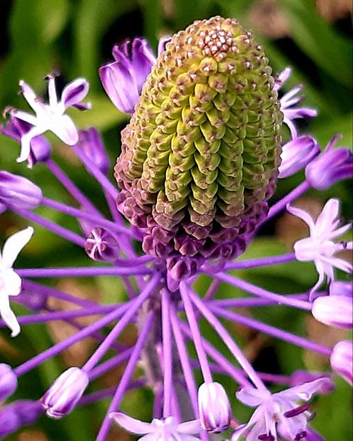 Scilla_hyacintoides_fleur