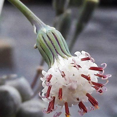 Senecio_articulatus_fleur