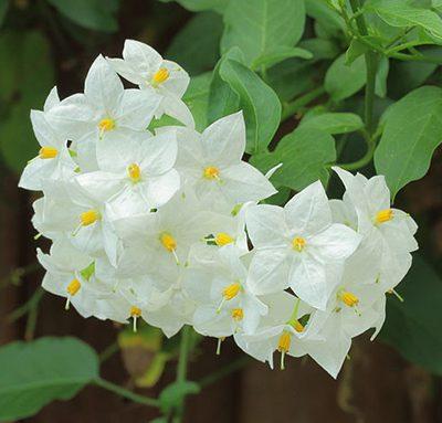 Solanum_jasminoides_'Album'
