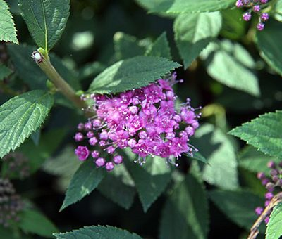 Spiraea_japonica_Little_Princess