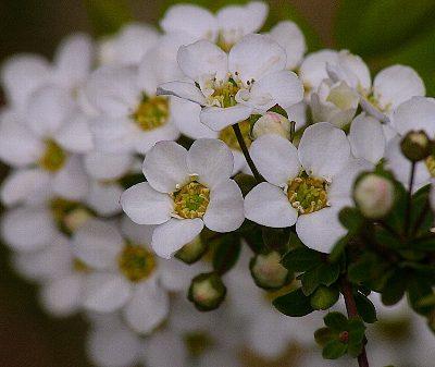 Spiraea_thunbergii_fleur