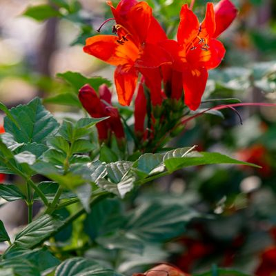 Tecoma_capensis_fleur