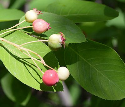 Amelanchier_canadensis