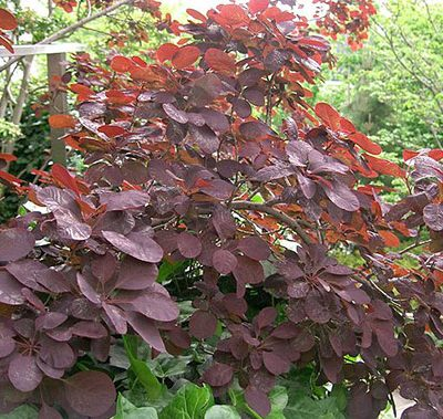 Cotinus_coggygria_Royal_Purple