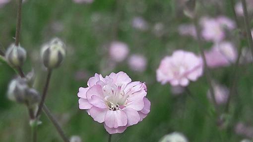 Gypsophyla_rosenschleier_fleur