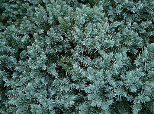 Juniperus_squamata_Blue_Star