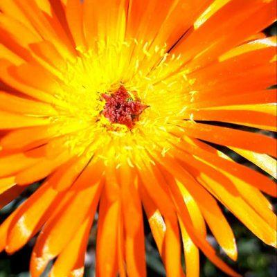 Lampranthus_aurantiacus_fleur