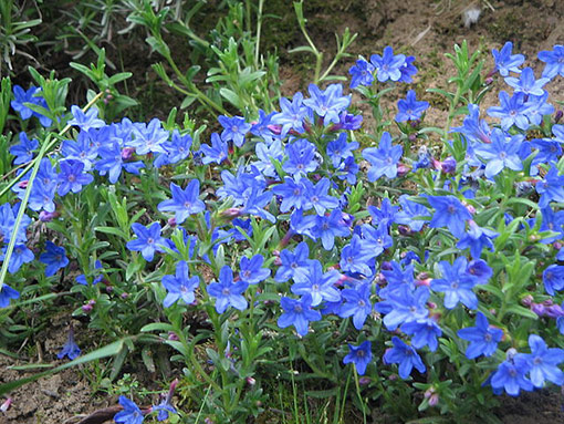 Lithodora_diffusa_Heavenly_Blue