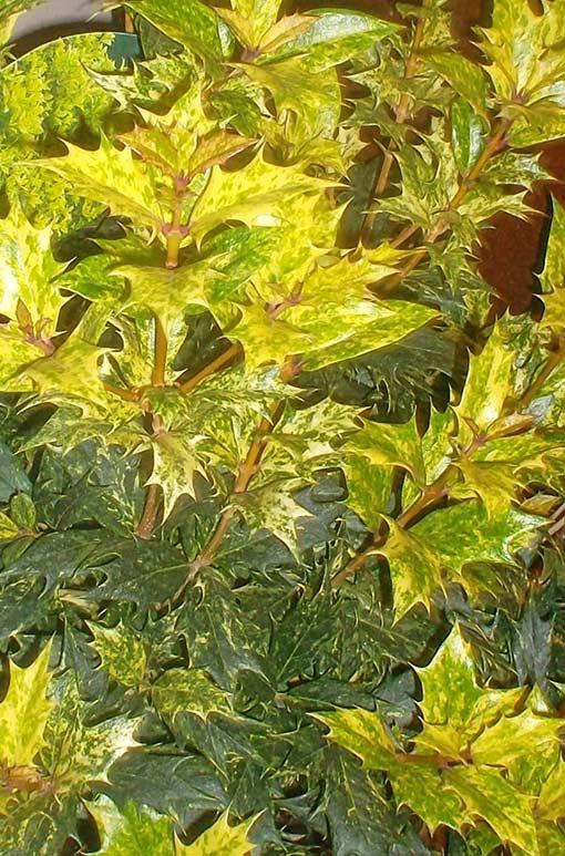 Osmanthus_heterophyllus_Tricolor