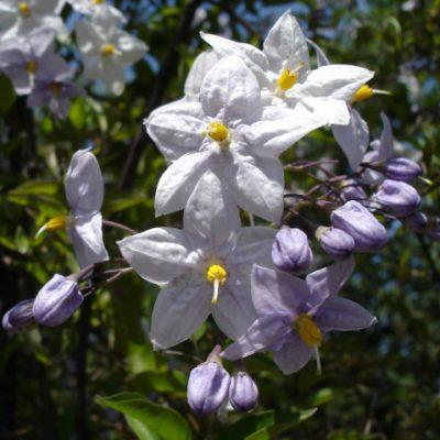 Solanum_jasminoides